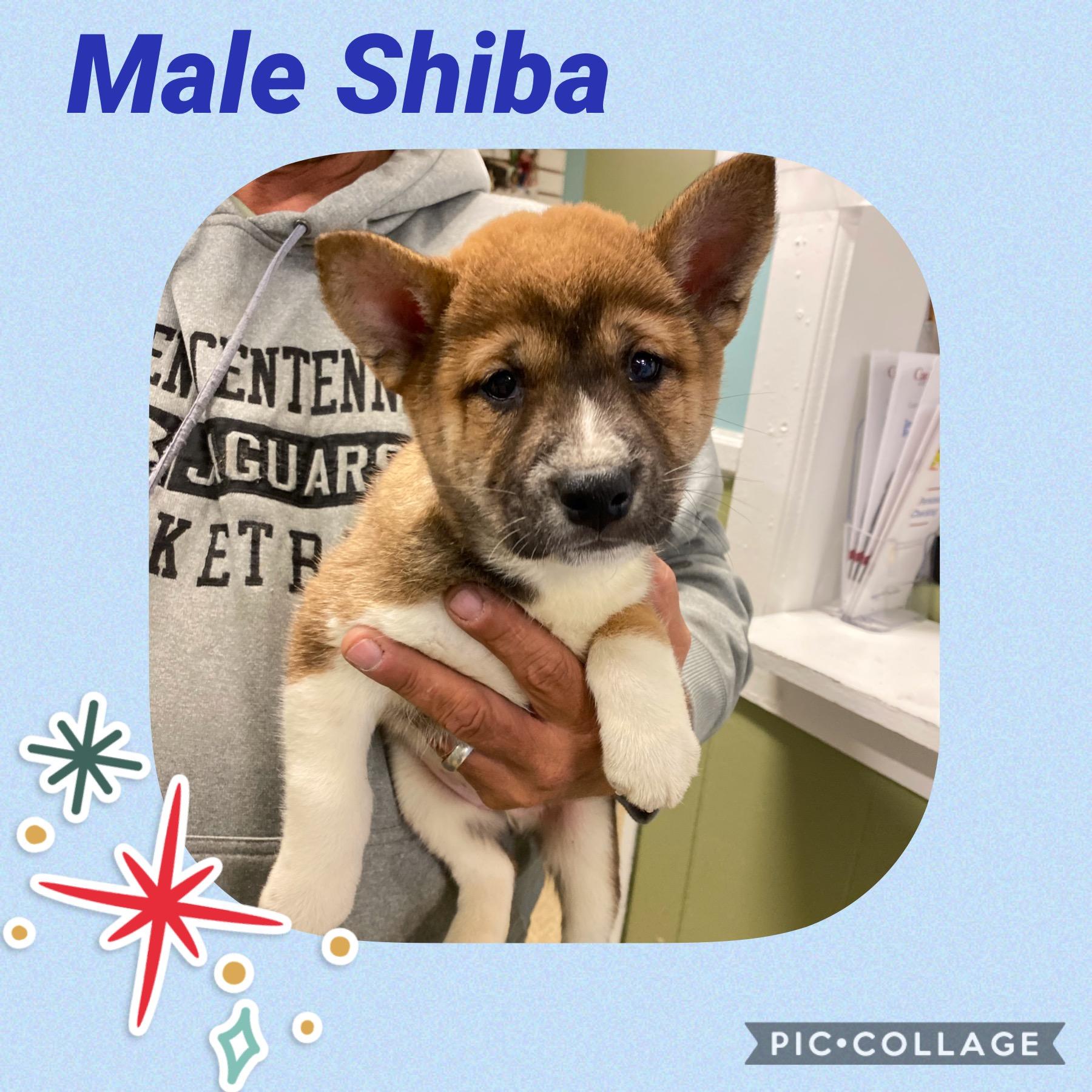 Male Shiba
