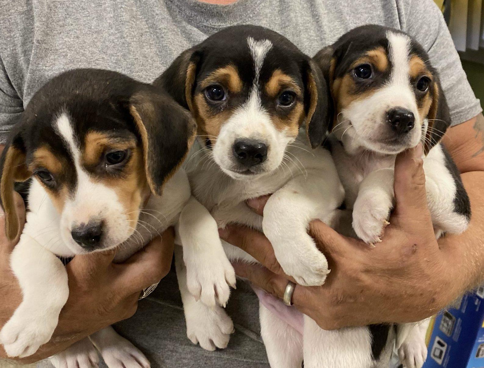 1f 2 m beagles