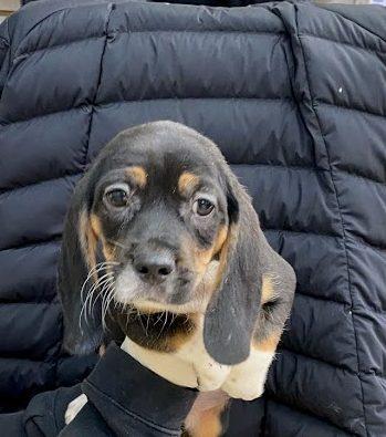 male beagle 2.10