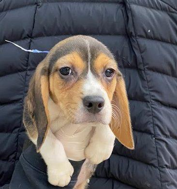 female beagle 2.10